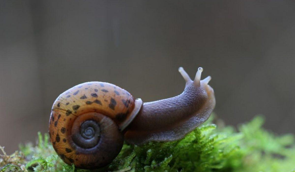 L'Escargot de Quimper (Elona quimperiana)