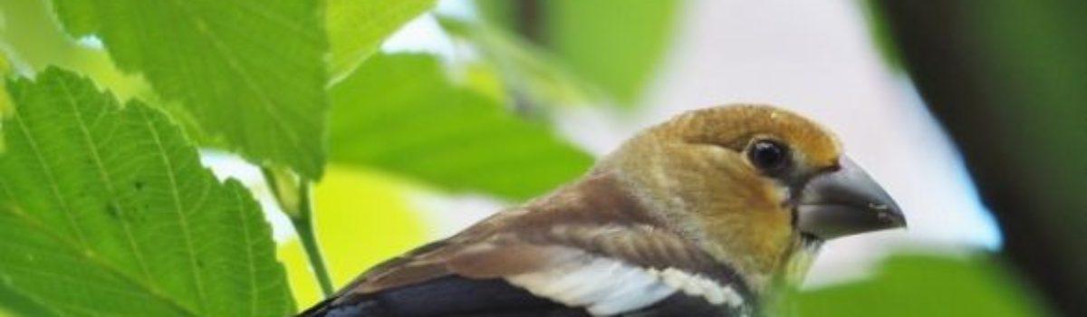 Le Grosbec casse-noyaux (Coccothraustes coccothraustes)