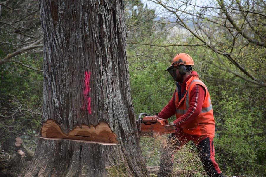 abattage d'arbre pour entretien des ENS