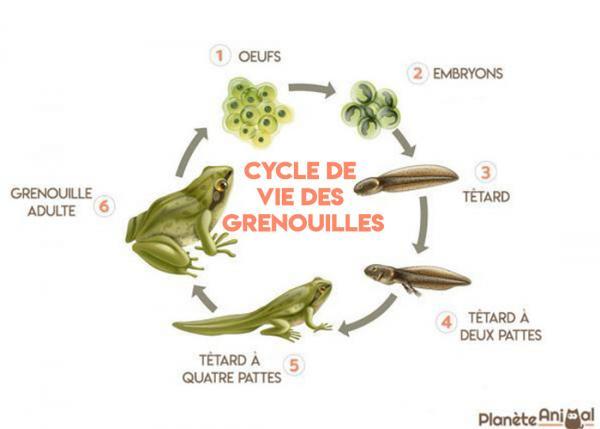 Cycle de vie grenouille planete animal